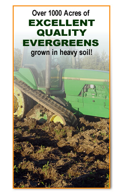 Excellent Quality Evergreens for Sale grown in heavy soil Wisconsin